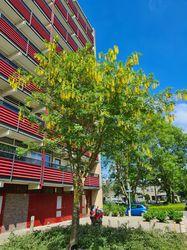Bastaardgoudenregen boom - prachtige treurboom met bijzondere bloei