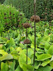 brandkruid tuinplanten vaste planten winterbeeld