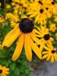 Rudbeckia geel bloeiende borderplanten