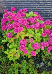 Hyndrangea 'Bouquet Rose' op zijn mooist
