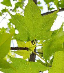 amberboom bladkleur leivorm