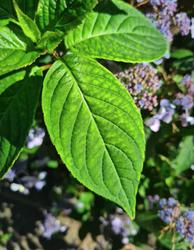 blad van de hortensia scherm