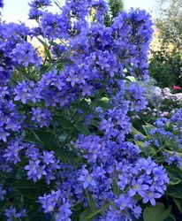 Celtisbladklokje - Campanula lactiflora 'Pichards Variety'