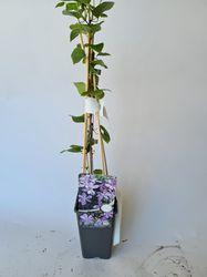 Clematis producten tuinplanten borderpakket productfoto