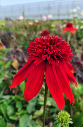 Rode Zonnehoed - Echinacea 'Summer Cherry'