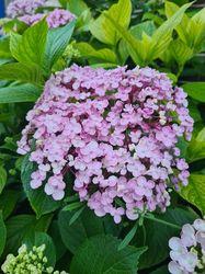 Boerenhortensia - Hydrangea macrophylla