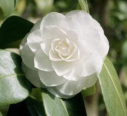 Camelia - Camellia japonica 'Snow White'
