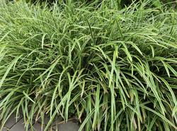 Yarinde tuinplanten carex siergrassen border