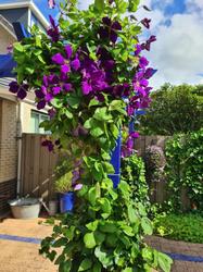 klimplant tegen pergola clematis bloemen paars