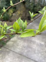 Deutzia scabra 3 blad
