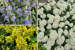 Diny - Heesters voor de kleine tuin - Paars & Wit - Halfschaduw