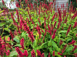 Tuinplanten borderpakket vaste planten rood