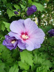 bloei Heemstroos - Hibiscus syriacus 'Oiseau Bleu'