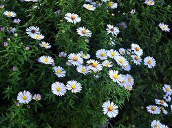 Herfstaster - Aster novae-angliae 'Herbstschnee'