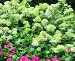 Limelight hortensia