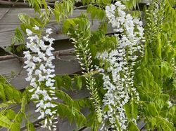 witte blauweregen blauwregen wit klimplanten pergola