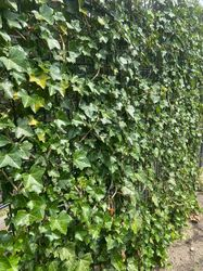 hedera woerner scherm klimplanten klimop stalen scherm metalen