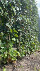 Hedera woerner klimop planten schermen