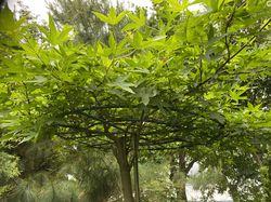 dakvorm amberboom