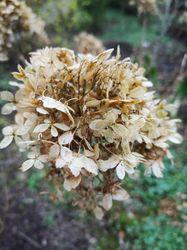 winterbeeld hortensia