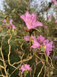 vroegbloeiende rhododendron