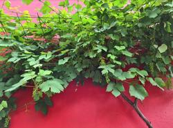 eetbare druiven klimplanten