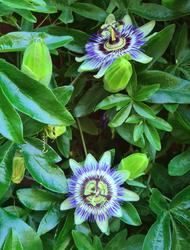 Passiflora klimplanten bijzondere bloemen