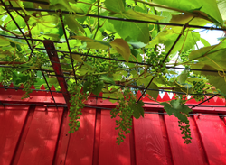 klimplanten druiven