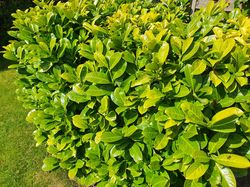 Groenblijvende haagplant