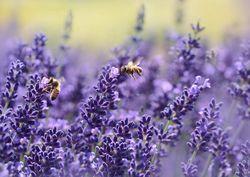 Gewone lavendel - 2