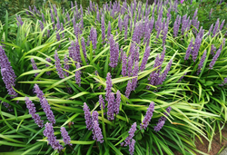 Vaste planten siergras paars bloeiende borderplant