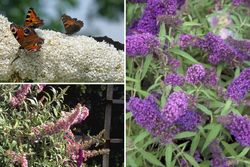Luuk - Borderpakket vlinderstruik - Heesters