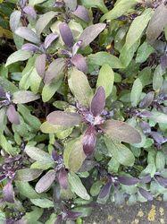 Salvia tuinplanten Echte salie