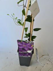 Prachtige clematis planten tuinplanten bloei vorm