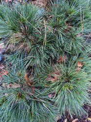 Dwergweymouthsden - Pinus strobus 'minima'