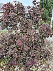 Pruikenboom heesters roodblad