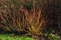 Rode kornoelje - Cornus