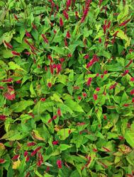 Tuinplanten rood bloeien duizendknoop borders