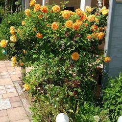 Schitterende klantfoto van grootbloemige roos