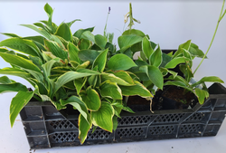 hosta borderpakket tuinplanten pakket schaduwplanten
