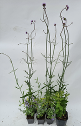 prairietuinplanten borderpakket kant en klaar tuinen paars