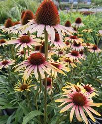 Bijzondere borderplan bloeiwijze bloeikleur zonnehoed tuinplant