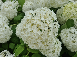 Hortensia annabelle tuinplanten heesters