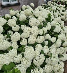 Hortensia annabelle tuinplant borderpakket