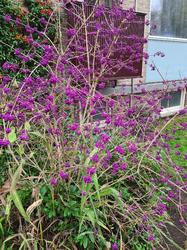 callicarpa struik besjes paars
