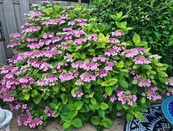 Hortensia schermbloemen roze