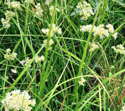 Sneeuwwitte veldbies - Luzula nivea