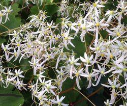 Steenbreek - Saxifraga cortusifolia 'Rokujo'