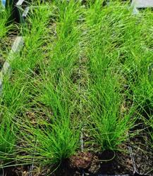 Stipa zomermaand jonge plant