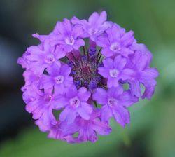 Tuinplanten paars bijvriendelijke tuinplanten